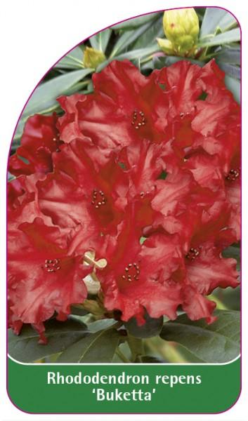 Rhododendron repens 'Buketta', 68 x 120 mm