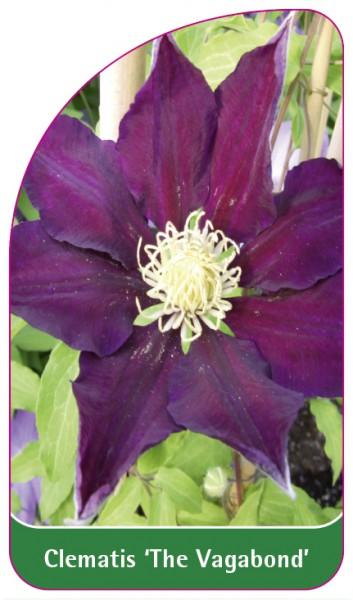 Clematis 'The Vagabond', 68 x 120 mm