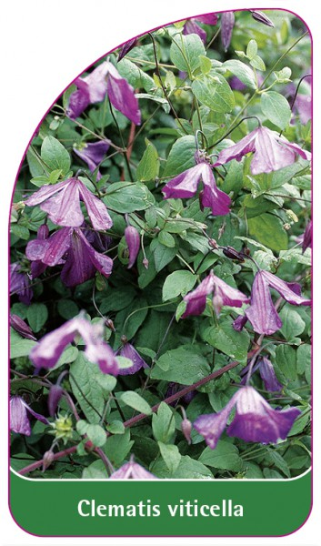 Clematis viticella, 68 x 120 mm