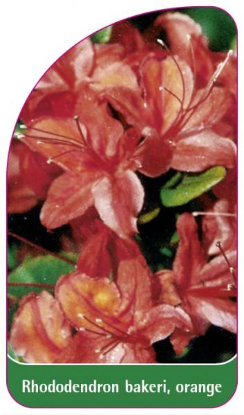 Rhododendron bakeri, orange, 68 x 120 mm