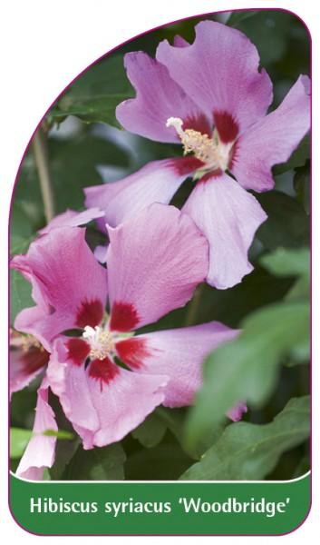Hibiscus syriacus 'Woodbridge', 68 x 120 mm