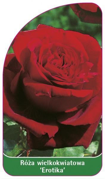 Róza wielkokwiatowa 'Erotika', 68 x 120 mm PL