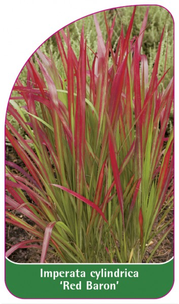 Imperata cylindrica 'Red Baron', 68 x 120 mm