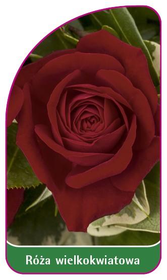 Róza wielkokwiatowa Nr. 246 A, 52 x 90 mm