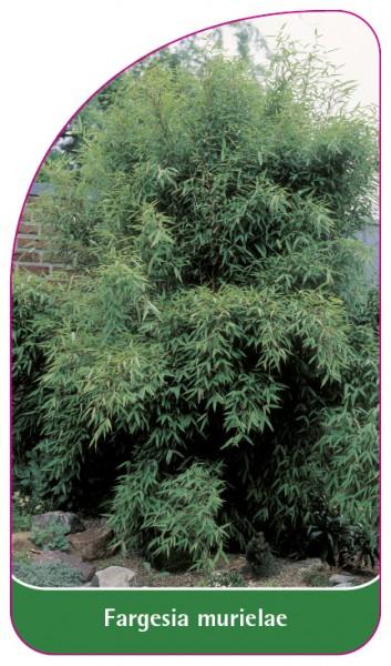 Fargesia murielae, 68 x 120 mm