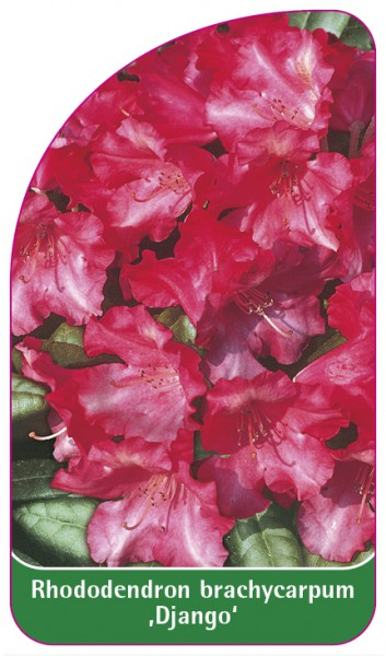 Rhododendron brachycarpum 'Django', 68 x 120 mm