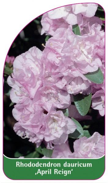 Rhododendron dauricum 'April Reign', 68 x 120 mm