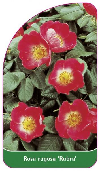 Rosa rugosa 'Rubra', 68 x 120 mm