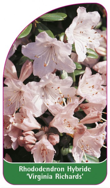 Rhododendron Hybride 'Virginia Richards', 68 x 120 mm