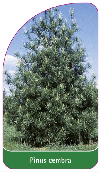 Pinus cembra, 68 x 120 mm