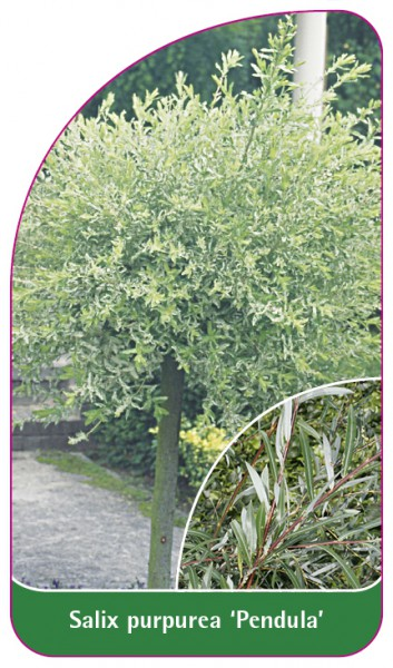 Salix purpurea 'Pendula', 68 x 120 mm