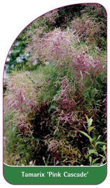 Tamarix 'Pink Cascade', 68 x 120 mm