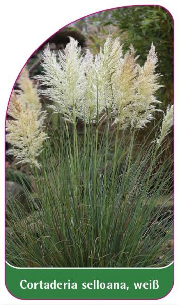 Cortaderia selloana, weiß, 68 x 120 mm