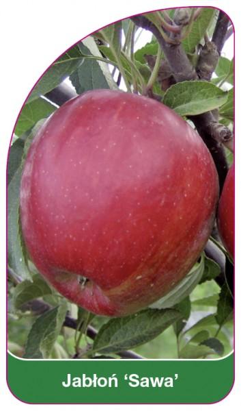 Jabłoń 'Sawa', 68 x 120 mm