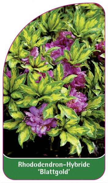 Rhododendron-Hybride 'Blattgold', 68 x 120 mm