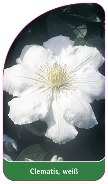 Clematis, weiß, 68 x 120 mm