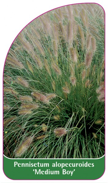 Pennisetum alopecuroides 'Medium Boy', 68 x 120 mm