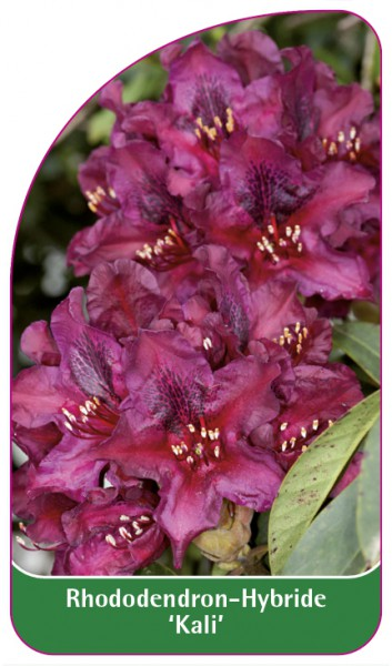 Rhododendron-Hybride 'Kali', 68 x 120 mm