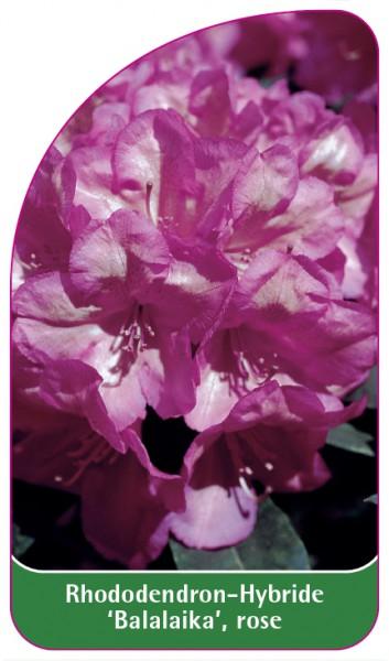 Rhododendron-Hybride 'Balalaika', rose, 68 x 120 mm