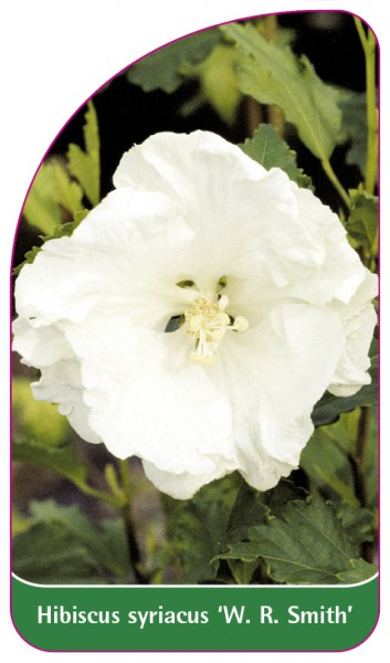 Hibiscus syriacus 'W. R. Smith', 68 x 120 mm