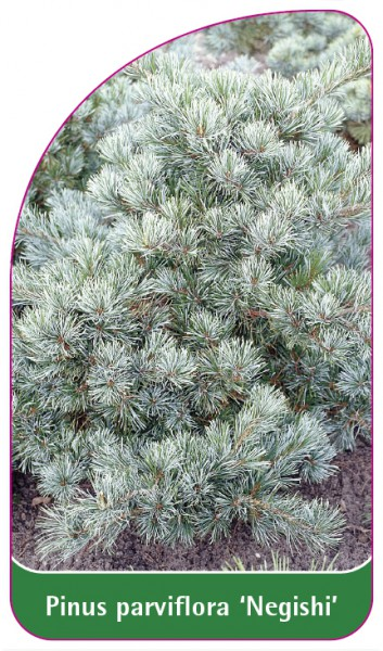 Pinus parviflora 'Negishi', 68 x 120 mm