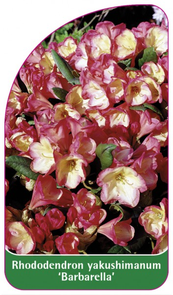 Rhododendron yakushimanum 'Barbarella', 68 x 120 mm