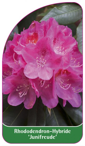 Rhododendron-Hybride 'Junifreude', 68 x 120 mm