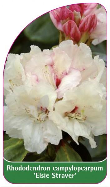 Rhododendron campylopcarpum 'Elsie Straver', 68 x 120 mm