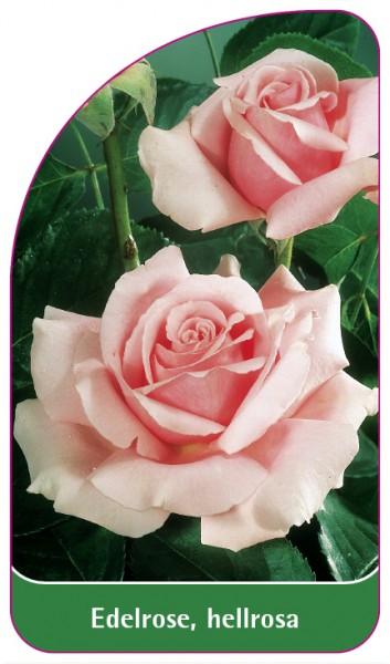 Edelrose, hellrosa, 68 x 120 mm