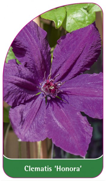 Clematis 'Honora', 68 x 120 mm