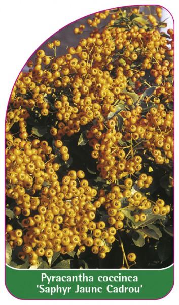 Pyracantha coccinea 'Saphyr Jaune Cadrou', 68 x 120 mm