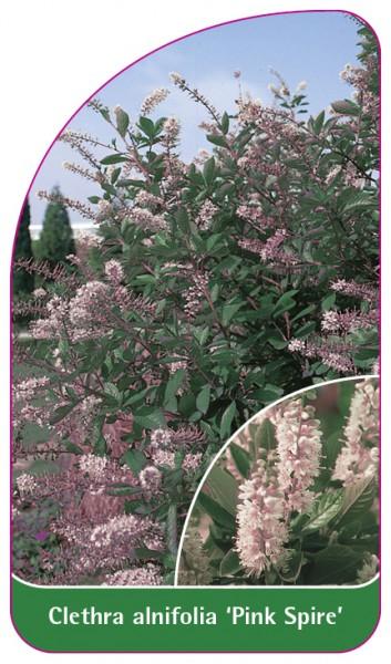 Clethra alnifolia 'Pink Spire', 68 x 120 mm