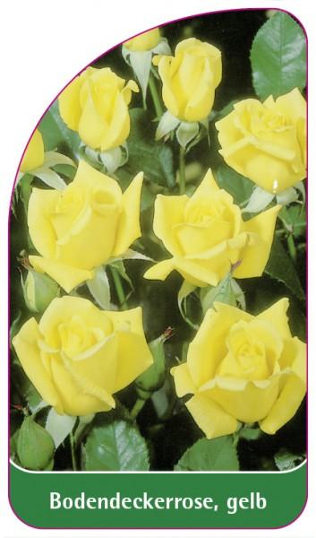 Bodendeckerrose, gelb, 68 x 120 mm