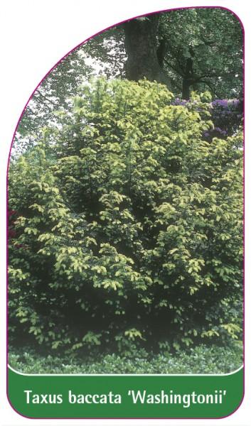 Taxus baccata 'Washingtonii', 68 x 120 mm