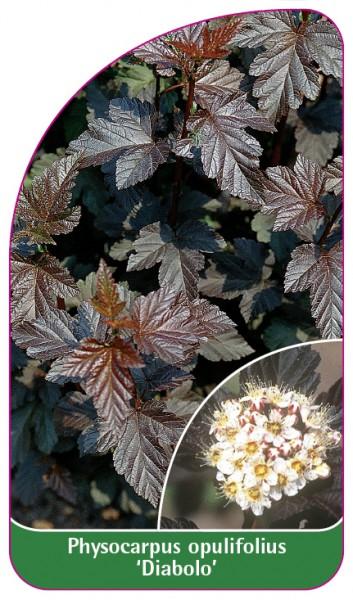 Physocarpus opulifolius 'Diabolo', 68 x 120 mm