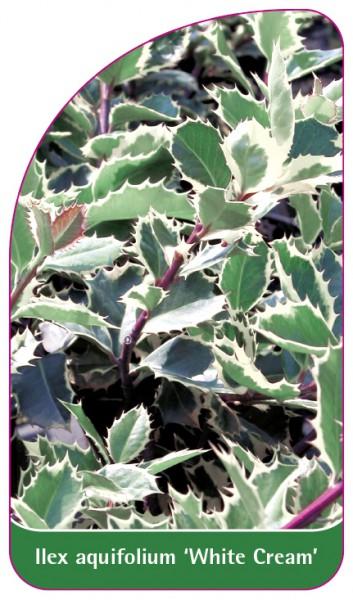 Ilex aquifolium 'White cream', 68 x 120 mm