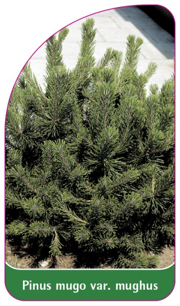 Pinus mugo var. mughus, 68 x 120 mm