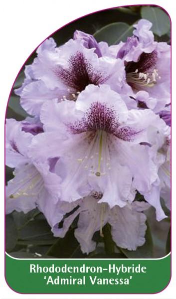 Rhododendron-Hybride 'Admiral Vanessa', 68 x 120 mm