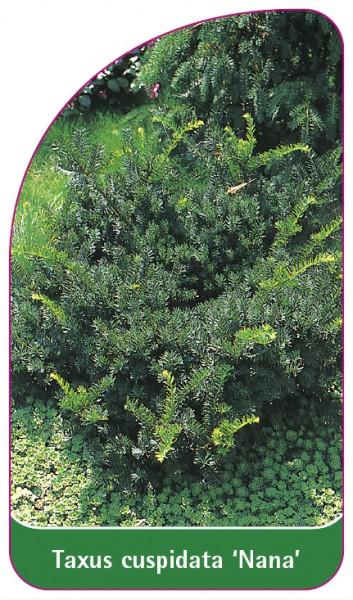 Taxus cuspidata 'Nana', 68 x 120 mm