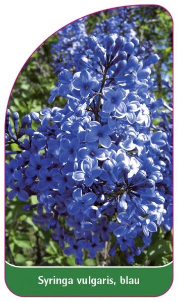 Syringa vulgaris, blau, 68 x 120 mm