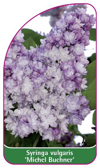 Syringa vulgaris 'Michel Buchner', 52 x 90 mm