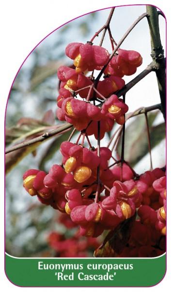 Euonymus europaeus 'Red Cascade', 68 x 120 mm
