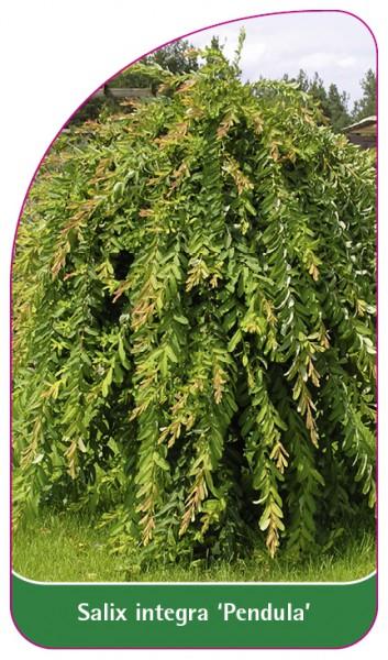 Salix integra 'Pendula', 68 x 120 mm
