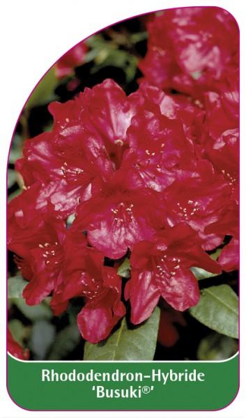 Rhododendron-Hybride 'Busuki', 68 x 120 mm
