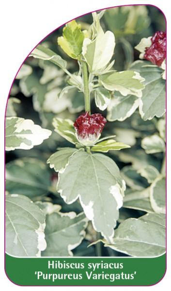 Hibiscus syriacus 'Purpureus Variegatus', 68 x 120 mm