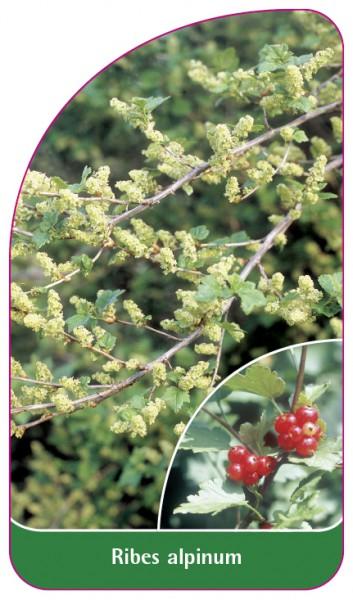 Ribes alpinum, 68 x 120 mm
