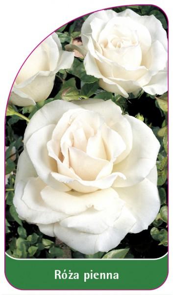 Róza pienna Nr. 46, 68 x 120 mm