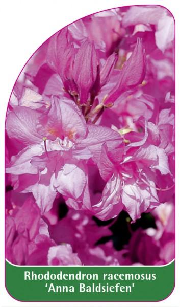 Rhododendron racemosus 'Anna Baldsiefen', 68 x 120 mm
