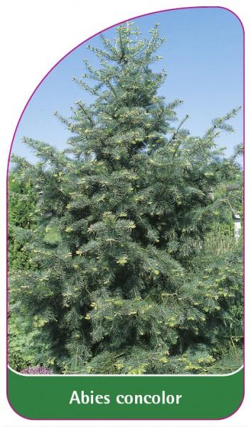Abies concolor, 68 x 120 mm