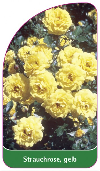 Strauchrose, gelb, 68 x 120 mm